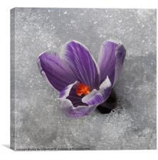 Crocus in the Snow, Canvas Print
