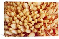 Orange Chrysanthemum, Canvas Print