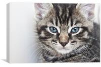 Tabby Kitten, Canvas Print