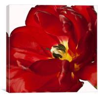 Tulip Centre, Canvas Print