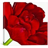 Open Tulip, Canvas Print
