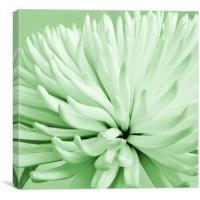 Green Chrysanthemum, Canvas Print