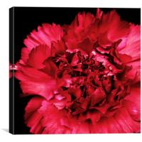 Red Carnation, Canvas Print
