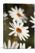 Daisy Drops, Canvas Print