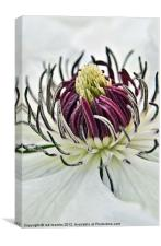 NECTAR OF A CLEMATIS, Canvas Print