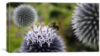 Bee Visitng Echinops, Canvas Print