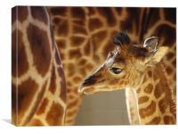 Rothschild Giraffe Calf, Canvas Print