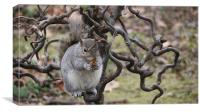 Grey Squirrel with Walnut, Canvas Print