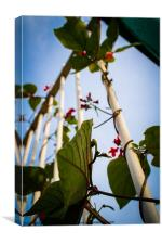 Runner beans in captivity., Canvas Print