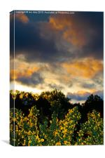 Gorse evening., Canvas Print