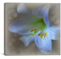 lovely lily, Canvas Print