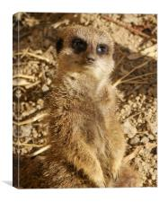 Hello from meerkat, Canvas Print