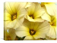 Aunt May - Sysyrinchium 3, Canvas Print