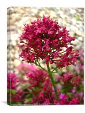 Red Valerian - 2, Canvas Print
