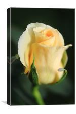 Miniature rose, Canvas Print