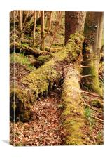 Tree trunks in moss, Canvas Print