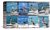 The many faces of Pelicans