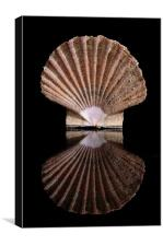 Pecten jacobaeus, Canvas Print