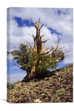 bristlecone pine, Canvas Print