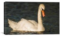 Swan In Late summer sun, Canvas Print