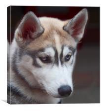 A Siberian Husky Dog London, Canvas Print