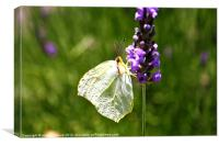 white butterfly flitting lavender, Canvas Print