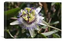Passiflora, Canvas Print