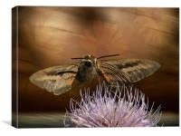 Hummingbird Moth, Canvas Print