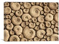 Ammonite Fossils, Canvas Print