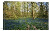Bluebell Woods forest of Bere, Canvas Print