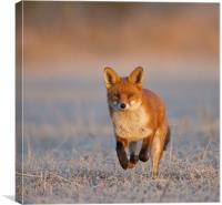 Fox Close Up, Canvas Print