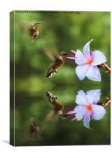 Hummingbirds and Slaughter Pink, Canvas Print