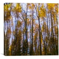 Autumn birch at Reelig, Canvas Print
