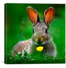 Baby Rabbit, Canvas Print