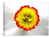 Daffodil core, Canvas Print