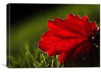 Back lit Red leaf, Canvas Print