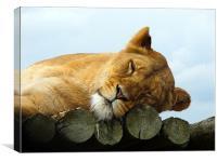 Lazing Lioness, Canvas Print