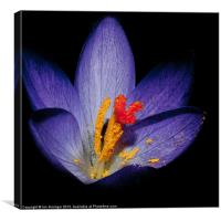 Spring Beauty, Canvas Print