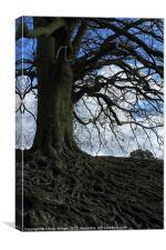 Beech Roots, Canvas Print
