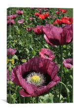 Purple Poppies, Canvas Print