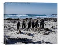 Penguins in Falklands, Canvas Print
