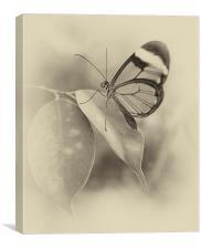 Glasswing, Canvas Print
