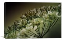 Closely Cow Parsley, Canvas Print