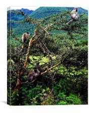 Monkey's of Ngorongoro Crater, Canvas Print