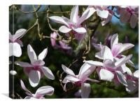 Magnolia Tree Nymans, Canvas Print