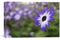 Blue flower cineraria, Canvas Print