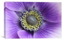 Anemone purple and white flower, Canvas Print