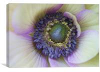Amazing anemone flower, Canvas Print
