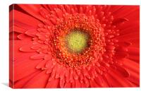 Gerbera red flower, Canvas Print