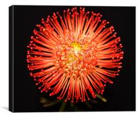 Pin cushion red spikey flower, Canvas Print